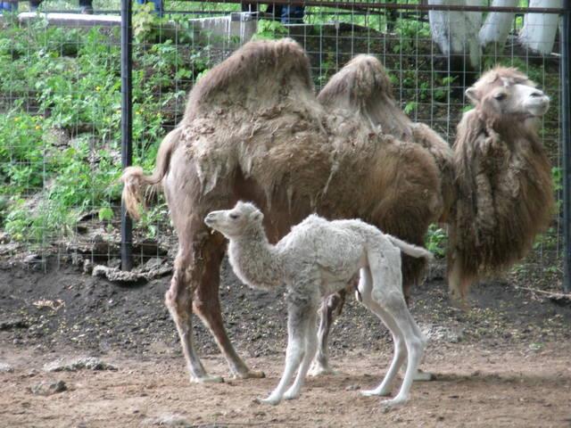 Редкостный белый верблюжонок родился впензенском зоопарке